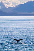 Humpback Whale shows it's tail as it dives with snow covered mountains as a background.(Megaptera noveangliae).Icy Point, Alaska
