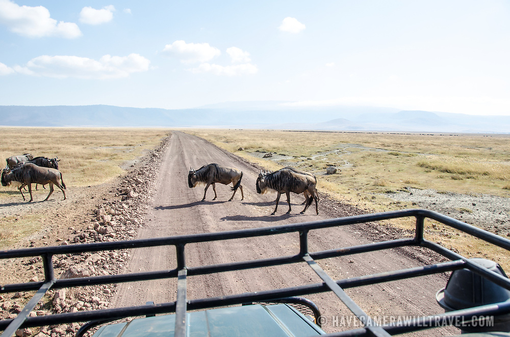 Wildebeest cross the road in front of a safari vehicle at Ngorongoro Crater in the Ngorongoro Conservation Area, part of Tanzania's northern circuit of national parks and nature preserves.