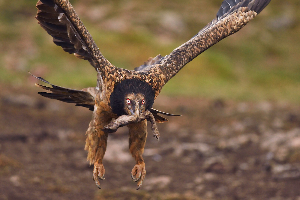 Lammergeier or Bearded vulture, immature bird, Gypaetus barbatus, at feeding site and wildlife watching site, images taken from a hide. Pre-Pyrenees, Catalonia, Spain