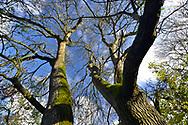 Mature pollarded Ash - Fraxinus excelsior, on woodland boundary, Stoke Wood, Oxfordshire.