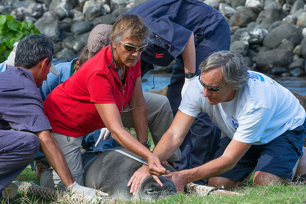 volunteer Jeff Reiner (right) and researchers Lloyd Lowry, Michelle Barbieri, Mark Sullivan, Kathy Frost (holding tape), and Tracy Wurth measure a recently weaned 56 day old male Hawaiian monk seal, Neomonachus schauinslandi, after attaching a GPS satellite transmitter to the seal's back, at Keokea Beach Park, Niulii, North Kohala, Hawaii Island ( the Big Island ), Hawaii, U.S.A., (9 days after pup was weaned)