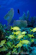 French grunts, Haemulon flavolineatum,<br /> West End, Grand Bahama Island, Bahamas,<br /> ( Western Atlantic Ocean )