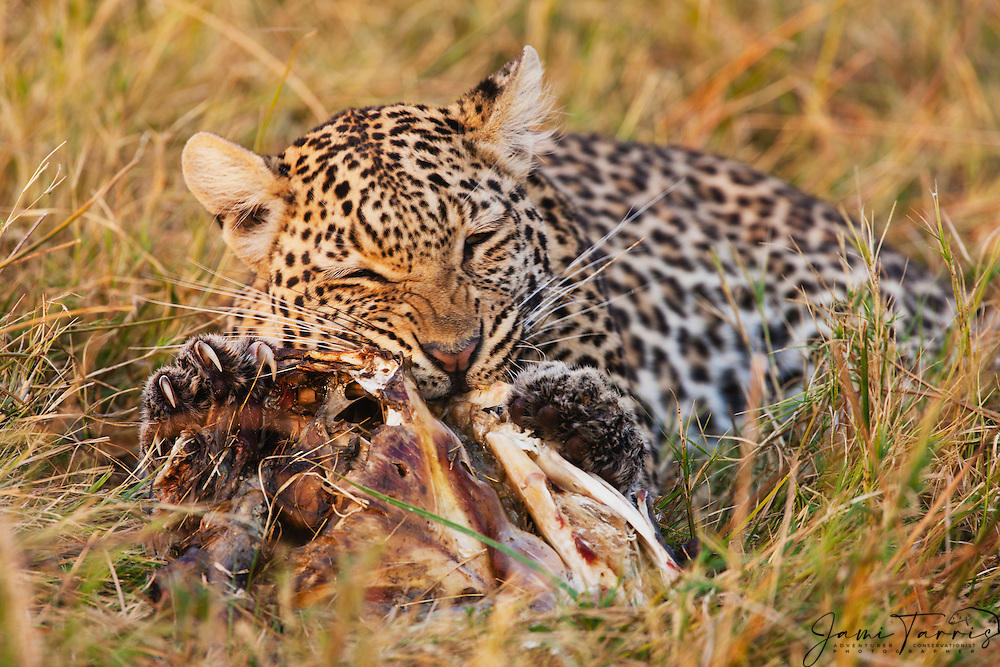 A leopard (Panthera pardus) eating a fish that it caught in the Savuti marsh, Chobe National Park, Botswana, Africa