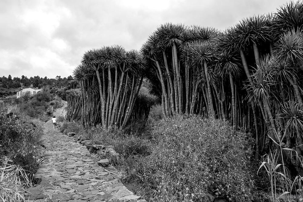 Bosque de Dragos (Dracaena draco), Buracas, Las Tricias, La Palma, Canarias, España, Europa