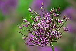 Allium 'Spider'