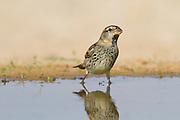 Spanish Sparrow (Passer hispaniolensis) near a puddle of water in the desert, negev, israel. The Spanish, or willow, sparrow is found in the Mediterranean region and southwest and central Asia.