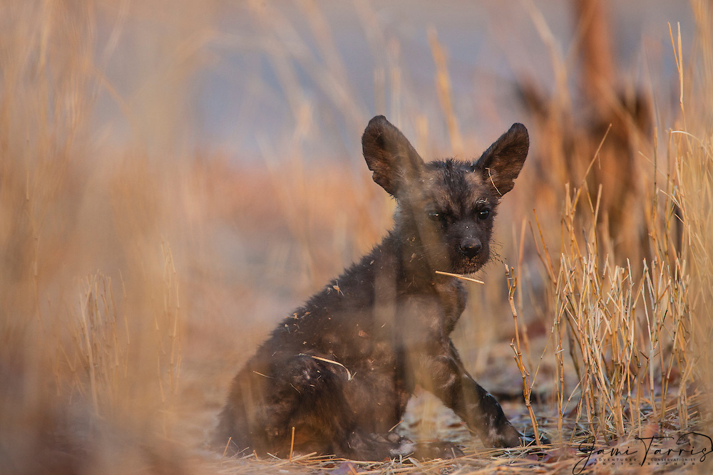A very small, endangered African wild dog pup(Lycaon pictus) sitting at the entrance to the den, Khwai River, Moremi Reserve, Botswana, Africa