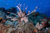 Lionfish Cruising the Reef