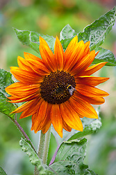 Sunflower with bee. Helianthus 'Red Sun'