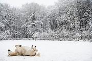 Baraque Michel, Belgium, 9 jan 2021, White horse in the snow.