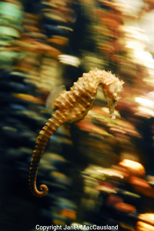 Sea horses swim slowly in an upright position as seen here. The male Seahorse incubates the eggs in an egg pouch in the lower abdomen. The fry will come and go for a while. These Lined Seahorses (Hippocampus erectus) live from southern Canada to the gulf of Mexico.