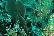 Bipinnate Sea Plume and Common Sea Fan, Grand Cayman