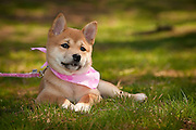 An Akita puppy plays in the grass.