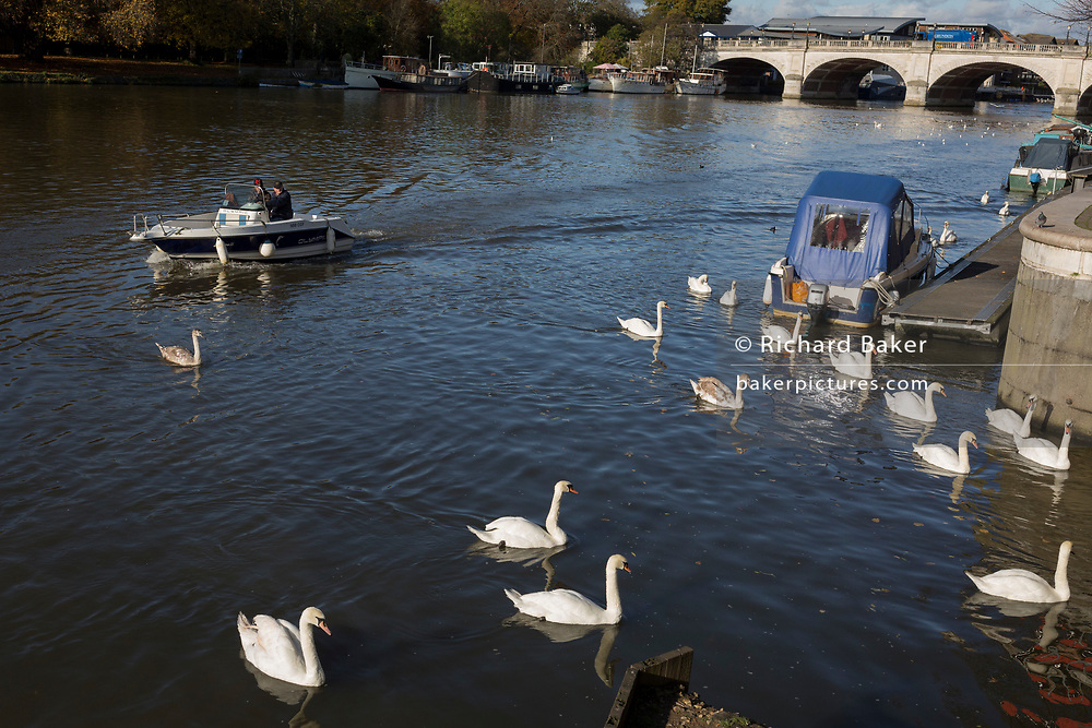 Upstream (west) from Kingston bridge, a 'ballet' of mute swans paddle along the Thames riverbank, on 7th November 2019, in London, England