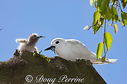 white tern or fairy tern, Gygis alba rothschildi, feeding small fish to chick, Sand Island, Midway, Atoll, Midway Atoll National Wildlife Refuge, Papahanaumokuakea Marine National Monument, Northwest Hawaiian Islands, USA ( Central North Pacific Ocean )