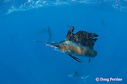 Atlantic sailfish, Istiophorus albicans, with treble hook caught in mouth, and torn sail, after being caught and released, off Yucatan Peninsula, Mexico ( Caribbean Sea )