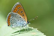 Large Copper Butterfly, Lycaena dispar, Macin sulucu valley, Ciucurova valley, Dobrogea, Romania, resting on leaf, underside of wings