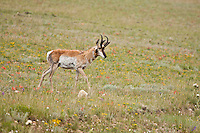 A male pronghorn (Antilocapra americana).  Often called antelopes, it is purely a North American species.  Pronghorns are the fastest mammal in North America, with speeds of 40-50 mile-per-hour bursts are common.   South Park area, Colorado.