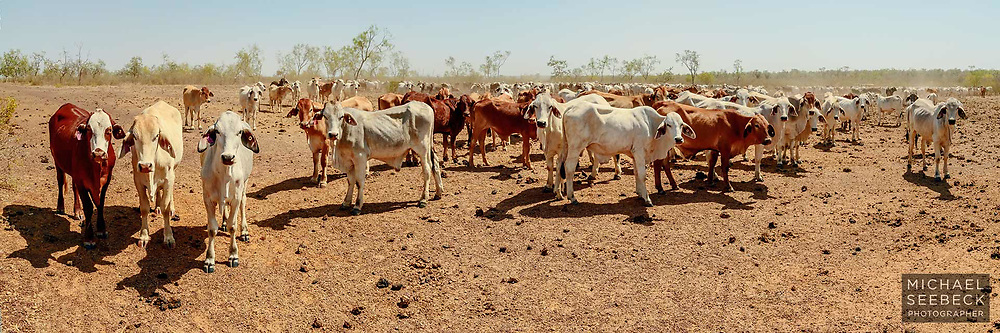 Young cattle gather in the middle of the afternoon, awaiting the farmer to arrive with hay, in drought conditions in the Gulf Country.<br /> <br /> Code: HAQG0016