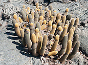 Lava cactus (Brachycereus nesioticus, is the sole species of the genus Brachycereus). Photographed on Punta (Point) Espinoza of Fernandina (Narborough) Island, Galápagos Islands, a province of Ecuador, South America. Fernandina was named in honor of King Ferdinand II of Aragon, who sponsored the voyage of Columbus. Fernandina is the youngest and westernmost island of the Galápagos archipelago, and has a maximum altitude of 1,494 metres (4,902 feet). Tourists are allowed to visit Punta Espinosa, a narrow stretch of land where hundreds of Marine Iguanas gather largely on black lava rocks. The Flightless Cormorant, Galápagos Penguins, Pelicans and Sea Lions are abundant on this island of lava flows and Mangrove Forests.