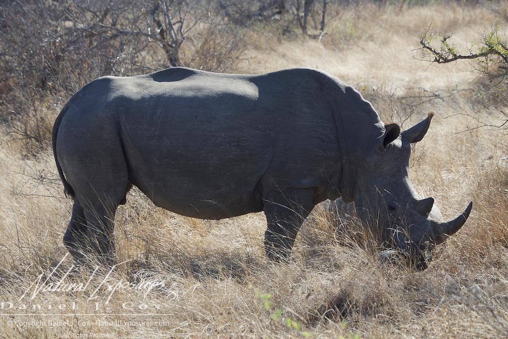 White Rhino, Malamala Game Reserve, South Africa.