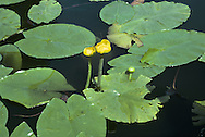 YELLOW WATER-LILY Nuphar lutea (Nymphaeaceae) Aquatic<br /> Water plant of still or slow-flowing freshwater to a depth of 5m. Tolerates partial shade and nutrient-rich waters. FLOWERS are 6cm across, yellow and alcohol-scented; on stalks that rise well above the waters' surface (Jun-Sep). FRUITS are flagon-shaped and smooth. LEAVES are up to 40cm across and leathery; unlike White Water-lily, basal lobes usually touch or overlap.