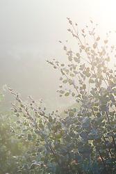 Eucalyptus gunnii early on a foggy autumn morning at Great Dixter. Cider Gum