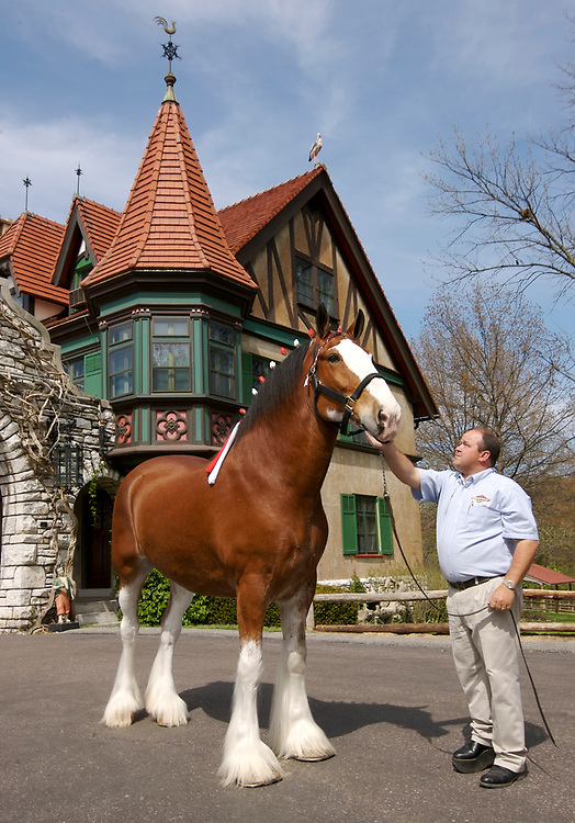The Budweiser Clydesdales at Grant's Farm in St. Louis, Missouri.