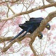 Hyacinth macaw, Pantanal, Brazil.