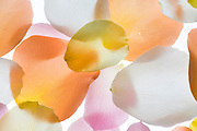 Back lit Flower petals photographed on a light box