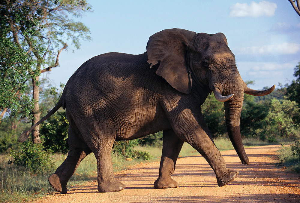 Elephant crossing the road in Kruger National Park. North Transvaal, South Africa.