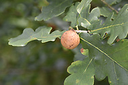 Oak Apple Gall - caused by wasp Biorhiza pallida