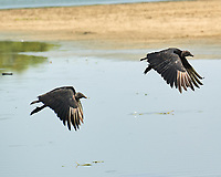 Black Vulture (Coragyps atratus). Crooked Tree Wildlife Sanctuary. Image taken with a Nikon D3s camera and 70-300 mm VR lens