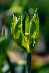 Tulpen groen, Tulipa spec, green tulips, Holland, Netherlands