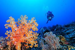 Dendronephthya klunzingeri, Stachelige Prachtkoralle und Taucher, orange Weichkoralle, Korallenriff, scuba diver with colorful coral reef and soft corals, Jemeluk, Cemeluk, Amed, Bali, Indonesien, Indopazifik, Bali, Indonesia Asien, Indo-Pacific Ocean, Asia
