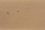 Shelduck, Tadorna tadorna, flying in front of sand dunes in Inner Mongolia, China