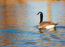 A goose swims along in waters of blue and gold