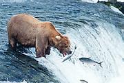 Alaska . Ursus Arctos . Katmai National Park . Grizzly bears in Katmai have a healthy diet of salmon. Brooks Falls salmon jumping.