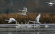 Hundreds of trumpeter swans have migrated to the rain soaked fields of the Snohomish river valley where they will spend the winter.<br /> (Mark Harrison / The Seattle Times)