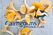 Wild chanterelle mushrooms (Cantharellus cibarius) collected in the forest near Boat of Garten and Aviemore, Cairngorms, Scotland, UK © Rudolf Abraham