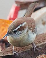 Carolina Wren (Thryothorus ludovicianus). Image taken with a Nikon D850 camera and 500 mm f/4 VR lens.