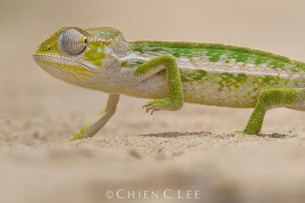 Greater Carpet Chameleon (Furcifer major). Isalo National Park, Madagascar.