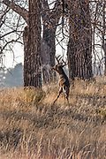 Mature whitetail buck scent marking at a scrape during the autumn rut.