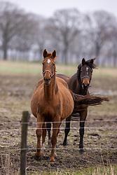 La Diva, veulen van Nixon van het Meulenhof<br /> Stal Knijnenburg - Deurne 2021<br /> © Hippo Foto - Dirk Caremans<br /> 21/03/2021