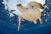 A Loggerhead Sea Turtle Juvenile, Caretta caretta, drifts in the open ocean offshore Pico Island, Azores, Portugal, North Atlantic Ocean.