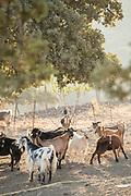 Herd of goats standing under deciduous tree, Lesbos, Greece