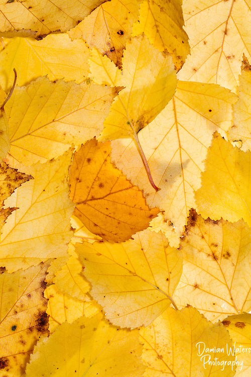 Birch leafs in autumn photographed in portable studio, Wirral - October