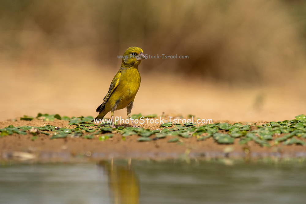 European Greenfinch (Carduelis chloris)  a small passerine bird in the finch family Fringillidae. Photographed near a puddle of water in the Negev desert, israel