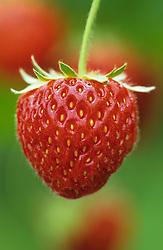 Strawberry 'Pandora'