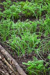 Companion planting of Carrots and Spring onions